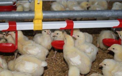 Sistemas automáticos en granjas de producción de pollo de engorda